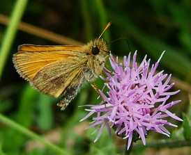 Essex_skipper_077_3