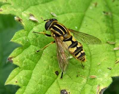 Hoverfly_035