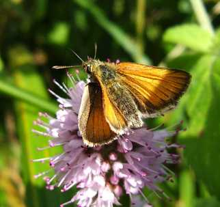 Small_skipper_013_3